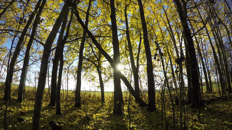 Yellow aspen tree leaves on young trees in the forest by the field, time lapse 4 Footage