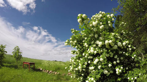 Guelder rose flowering in homestead on sunny cloudy day, time lapse 4K Footage