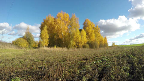Yellow birch trees growing in the fields on sunny day, time lapse 4K Footage
