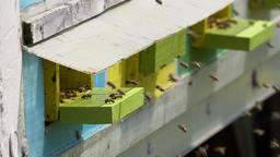 Honey bees at the hive Footage