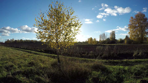 Sun shining through yellowing birch tree growing in fields on sunny day, time la Footage