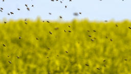 Swarm of bees in slow motion Footage