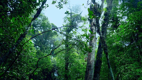 Exotic trees covered with fog against cloudy sky. Mysterious mossy forest Footage