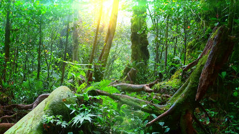 Sunlight breaking through dense foliage of trees growing in foggy tropics Footage