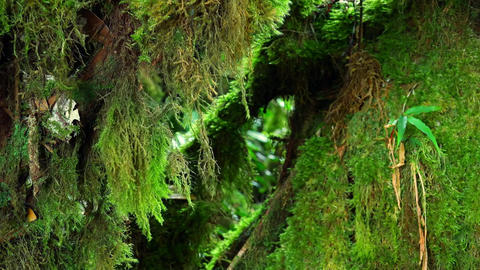 Green fluffy moss hanging from trunk of tropical tree and slightly swaying Footage