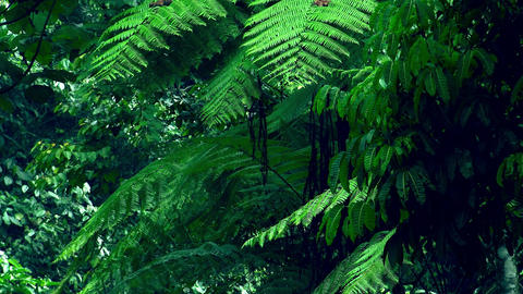 Exotic tree with big wide spread branches against vividly green dense rainforest Footage