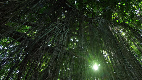 Bright sunlight breaks through lianas hanging from tall... Stock Video Footage