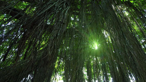 Bright sunlight breaks through lianas hanging from tall exotic tree in tropics Footage