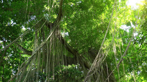 Amazing scenery of tall tropical trees with lianas hanging down from top Footage