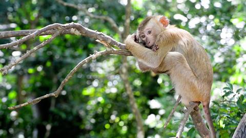 Cute Sleepy Monkey On A Tree Branch Footage