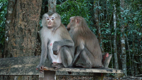 A pair of pig-tailed macaques Footage
