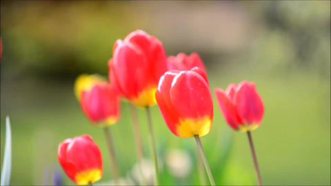 Swaying Red Tulips Footage