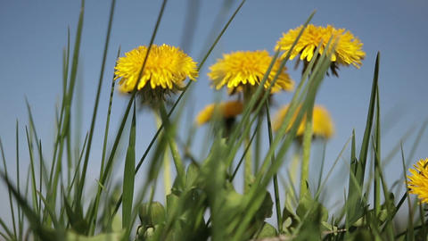 Yellow dandelion flowers among green grass on lawn Footage