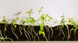 Seedlings Timelapse Side View 60 FPS Footage
