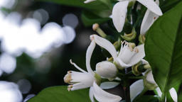 Several white Orange Blossoms and buds moving with the breeze Footage
