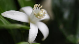 White Orange Blossom gently moving with the breeze Footage