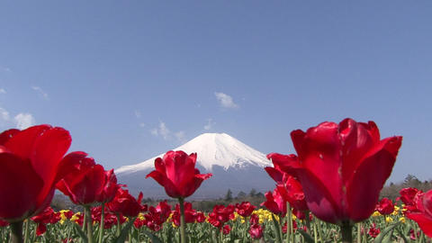 Mt. Fuji, Tulip, Japan - Fix/Zoom In/Fix Footage