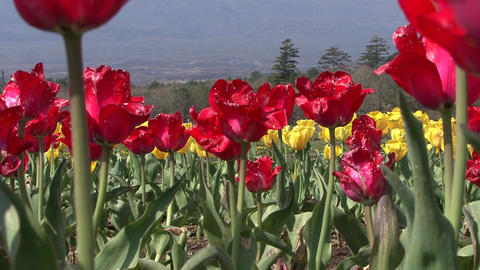 Mt. Fuji, Tulip, Japan - Fix/Zoom Back/Fix
