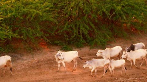 Cattle herd going through amazing sunset landscape in Bagan. Myanmar (Burma) Live Action