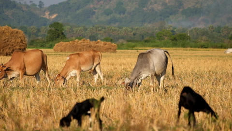 Rural asian landscape with cows and goats grazing at meadow. Myanmar (Burma) Footage