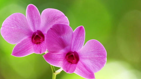 Zooming video of orchid tropical flower in nature background. Thailand Footage
