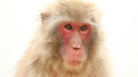 Japanese Macaque In Nature Live Action