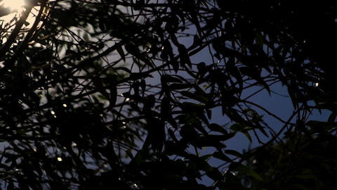 Sun peeks through the branches of a eucalyptus tree Footage