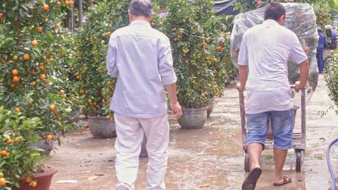 Buyer Pushes Wheelbarrow with Tangerine Tree to Big Truck Footage