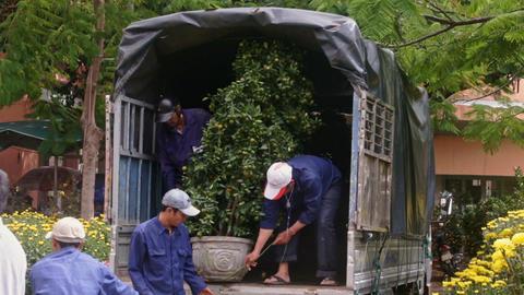 Worker Pulls Tangerine Tree Pot on Truck Deck to Transport Footage