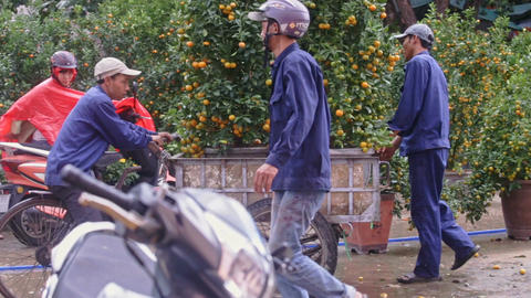 Workers Load Tangerine Trees to Cart Carry Around Market Footage