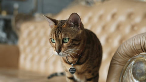 Purebred Bengal Cat Live Action