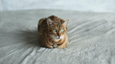 Bengal Cat Lying On Bed Live Action