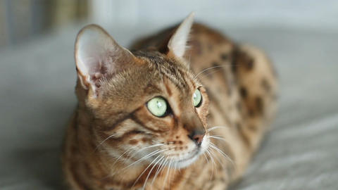 Bengal Cat Resting On Bed Footage