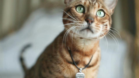 Bengal Cat With Green Eyes Footage