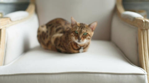 Bengal Cat Lying On The Armchair Footage