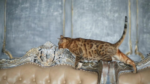 Beautiful Bengal Cat On The Sofa Live Action