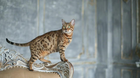 Adorable Gold Bengal Cat Live Action