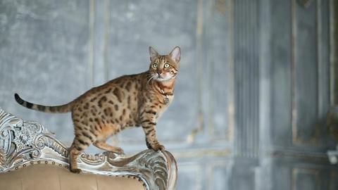 Adorable Gold Bengal Cat Footage
