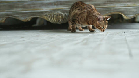 Bengal Cat Playing In The House Footage