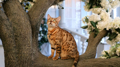 Funny Bengal Cat Resting On Tree Footage