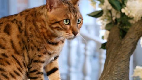 Bengal Cat Portrait - Pedigree Cat Footage