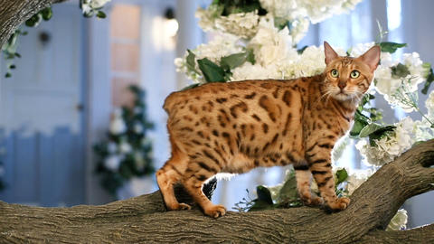 Beautiful Bengal Cat On The Tree Footage