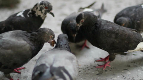 Pigeons Eat Bread 3 Footage