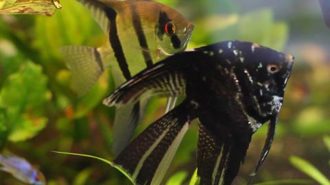 Aquarium Fish 5 Footage
