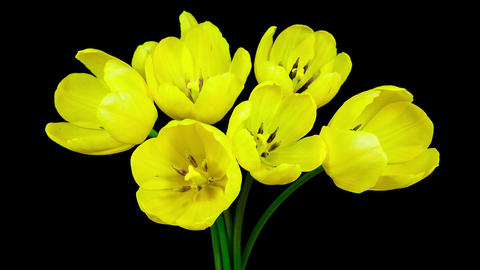 Yellow bunch of tulip flowers blooming timelapse Footage
