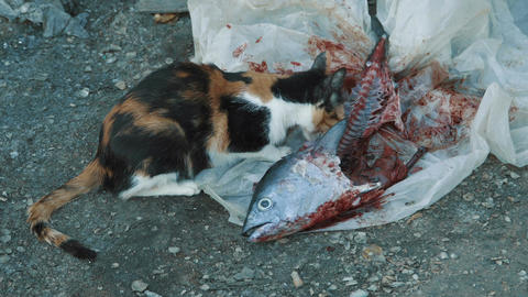 Hungry cat eating fish Live Action