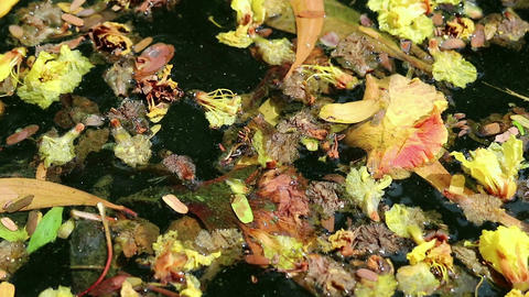 Beautiful fallen flowers and leaves floating on green water Filmmaterial