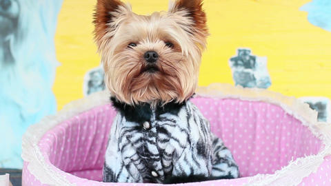 Yorkshire Terrier Live Action