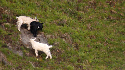 Three merry goats