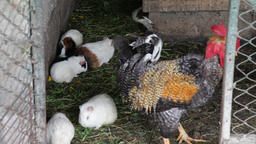 Guinea pigs and a rooster or cock inside the hen house, chicken coop or poultry